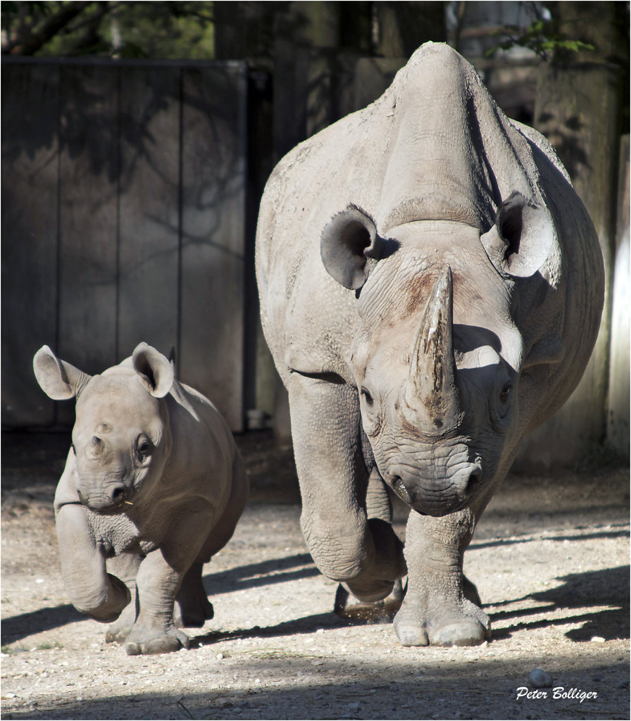 Black rhinoceross