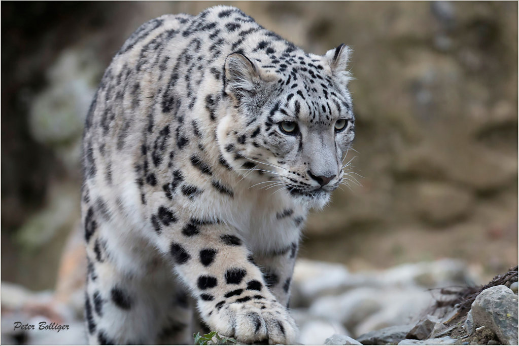 2015 Snow leopards-  Zoo Zürich