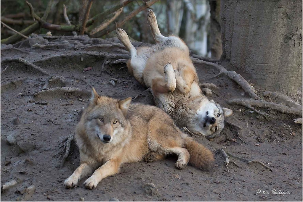 Wolves - different Zoos