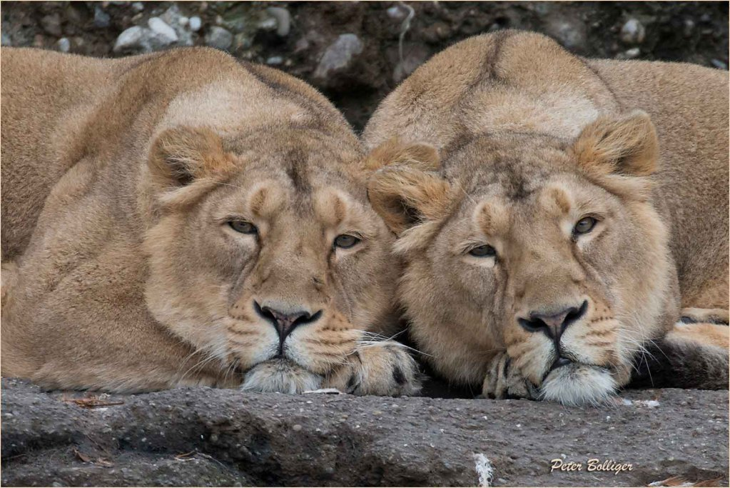 2016_17 Indian lions - Zoo Zürich