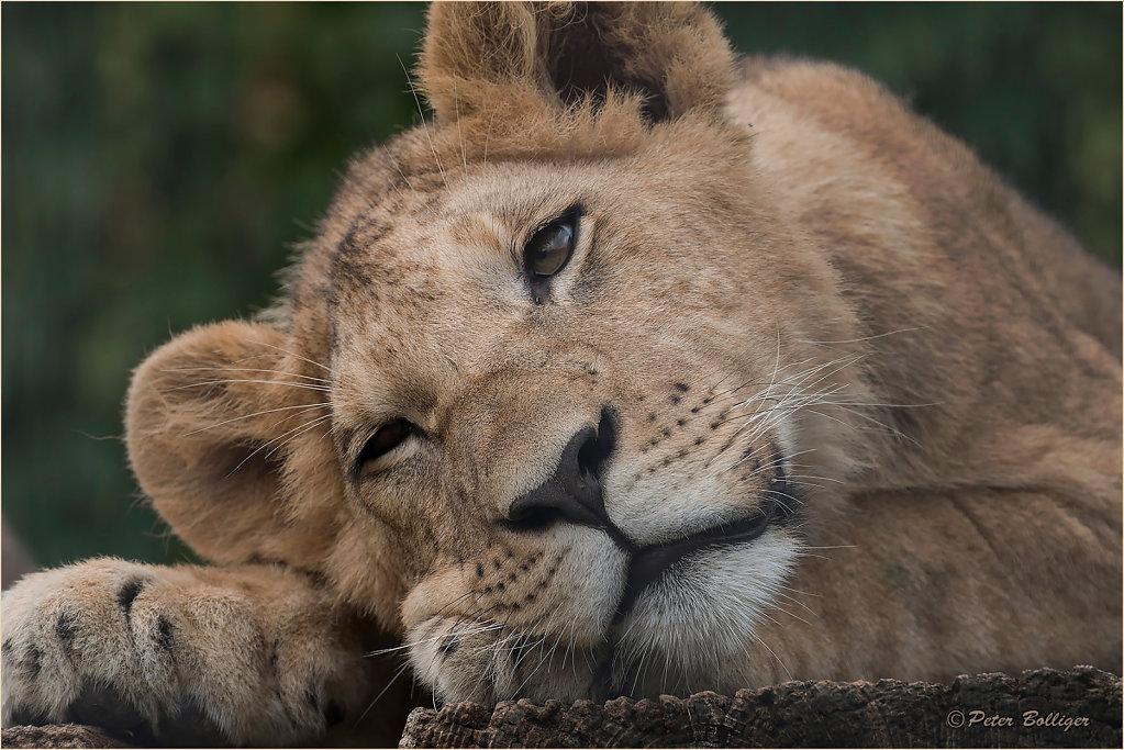 Barbary lion Cäsar - August 2016