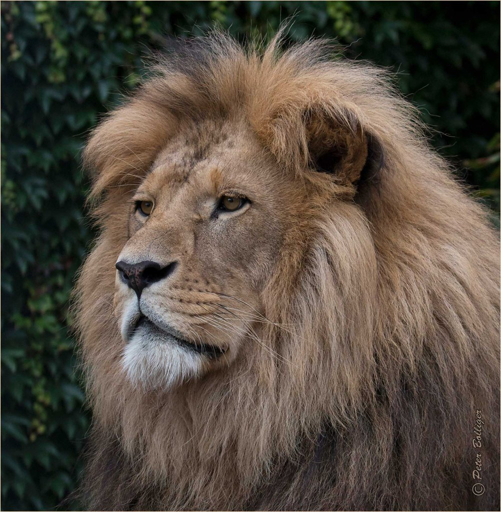 Barbary lion Louis - August 2016