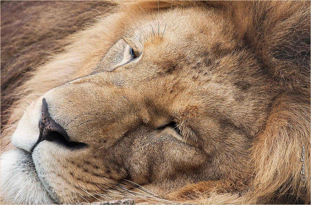 The lion sleeps tonight   August 2016
