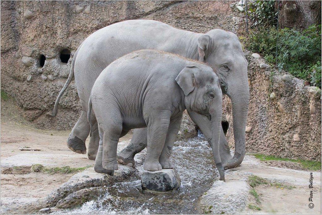 Asiatic elefant