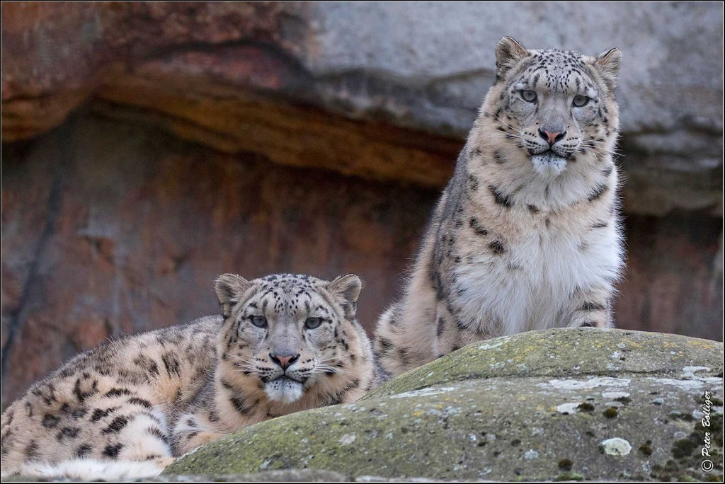 2015-2017 Snow leopards  - Zoo Basel