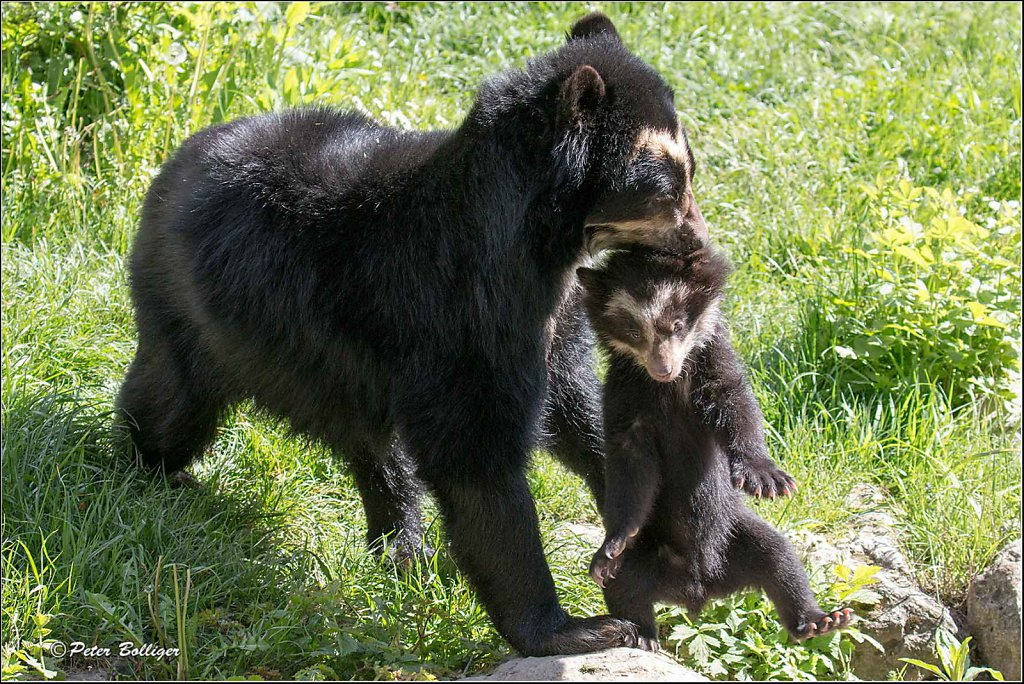 Mother Cocha with baby born 31.01.2017